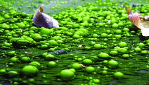 АФА сине-зеленые водоросли